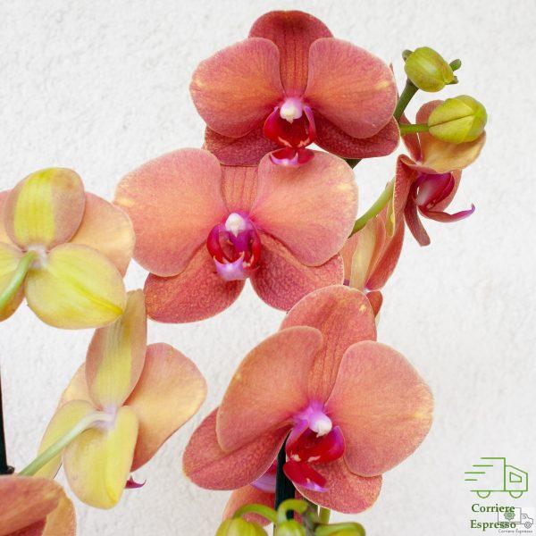 Particolare orchidea tigre