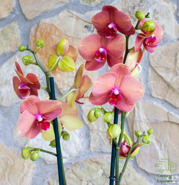 Orchidea tigre