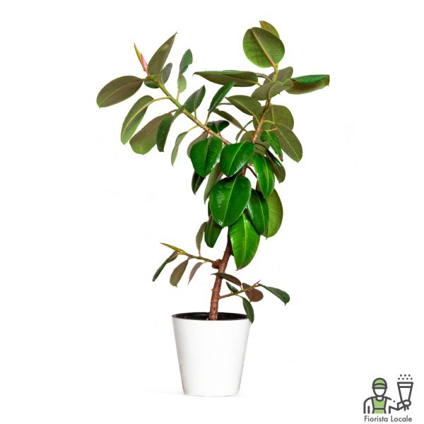 Ficus Robusta o elastica