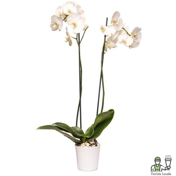 Orchidea Phalaenopsis doppia bianca