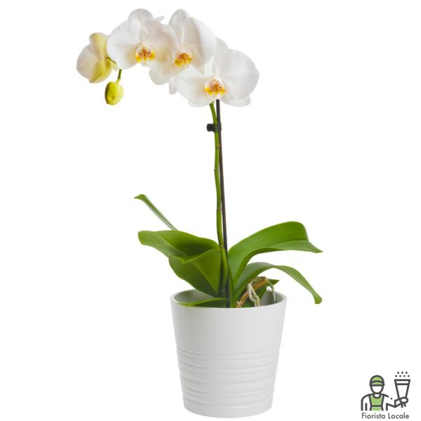 Orchidea Phalaenopsis Bianca